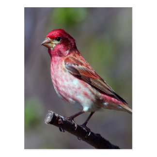 Purple Finch Postcard