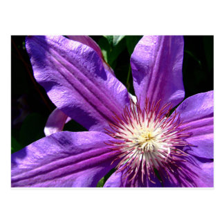 Purple Flower: Clematis Postcard