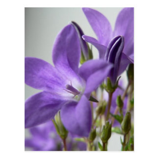 Purple Flowers Close Up Photo Postcard