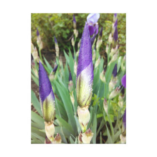 Purple German Iris Bud Canvas Print