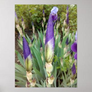 Purple German Iris Buds Poster