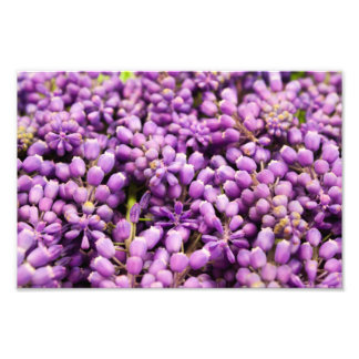 Purple Grape Hyacinth Spring Flower Bundle Photo Print