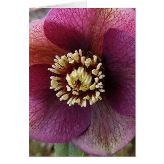 Purple Hellebore flower Card