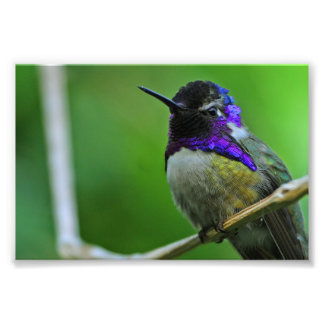 Purple Hummingbird Photo Print