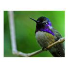 Purple Hummingbird Postcard