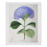 Purple Hydrangea Botanical Drawing Poster Print