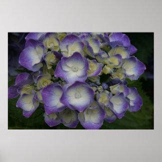 Purple Hydrangea Posters