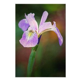 Purple Iris 1 Photograph