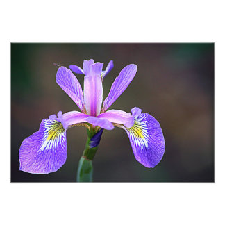 Purple Iris 4 Photo Print