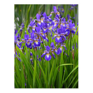 Purple iris flower garden postcard