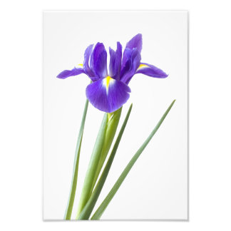 Purple iris flower on white photo print