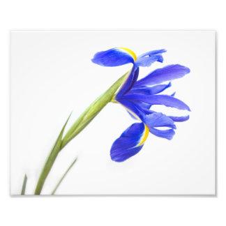 Purple Iris Flower Photo Print