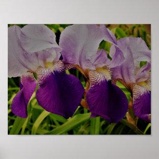 Purple Iris Flower Photo Value Poster Paper