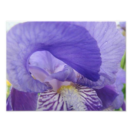 Purple Iris Flower Photography art prints Floral Photo Print