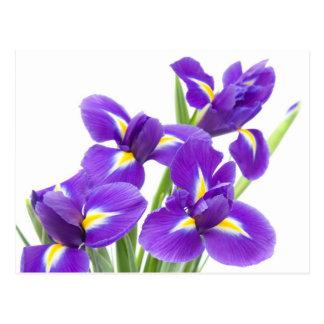 purple iris flower postcard