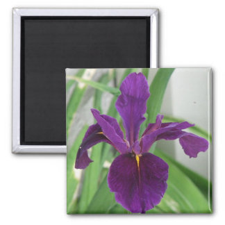 Purple Iris Magnet