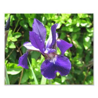 Purple Iris Photo Print