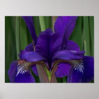 Purple Iris Posters