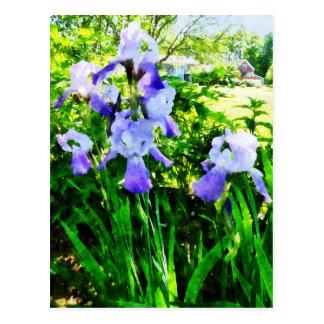 Purple Irises in Suburbs Postcards