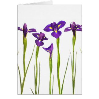 Purple irises isolated on a white background card