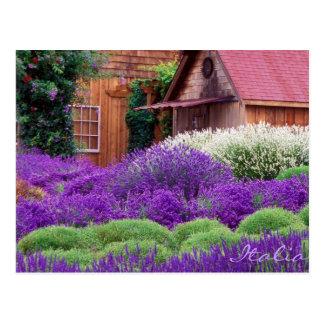Purple Lavender Italia Postcard