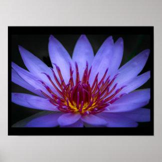 Purple Lotus Blossom Poster