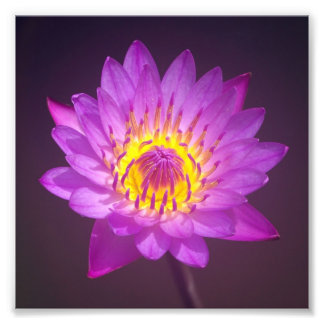 Purple Lotus Flower Photo Art