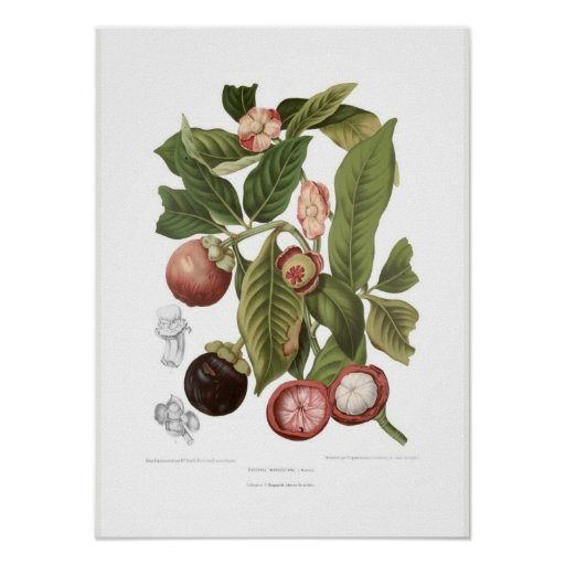 Purple Mangosteen Poster