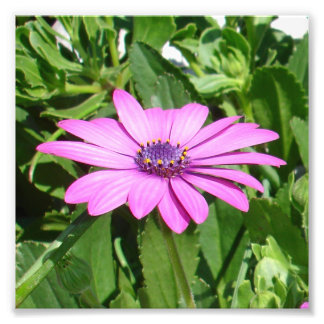 Purple Osteospermum Against Green Leaves Photo Print