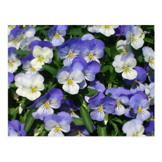 Purple Pansies Postcard