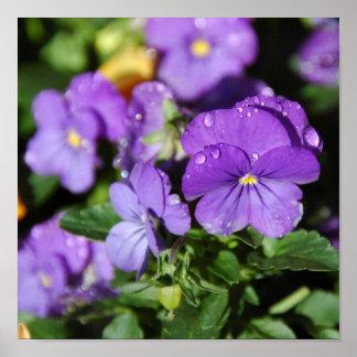 Purple Pansies Posters