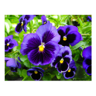 Purple Pansy Post Card