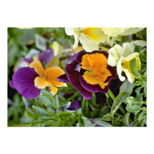 Purple Pansy With Orange Center flowers Announcement