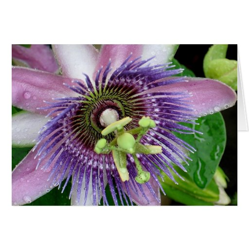 Purple Passion Flower Greeting Cards