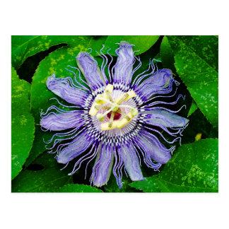 Purple Passion Flower... Postcard