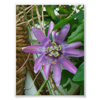Purple Passion Flower Poster