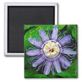 Purple Passion Flower... Square Magnet