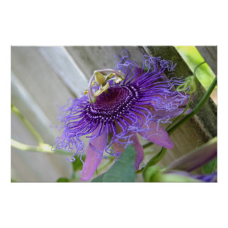 Purple Passion tropical flower blossom up close Poster