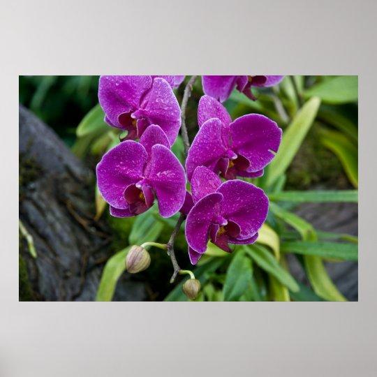 Purple Phalaenopsis Orchid Poster