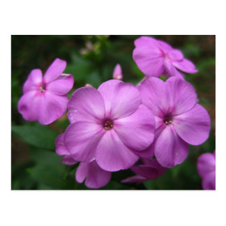 Purple Phlox Flowers Postcard