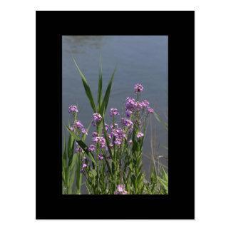 Purple Phlox Postcard
