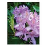 Purple Pink Rhododendron Flower Postcards