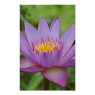 Purple Pink Water Lily Flower Flyer