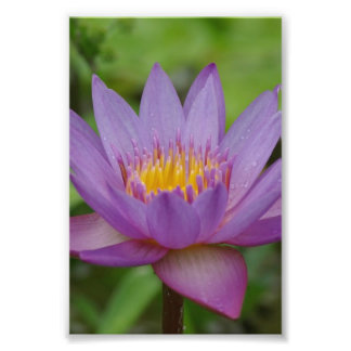 Purple Pink Water Lily Flower Photo