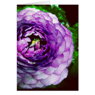 Purple Ranunculus Blank Greeting Card