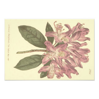 Purple Rhododendron Illustration Photo Print