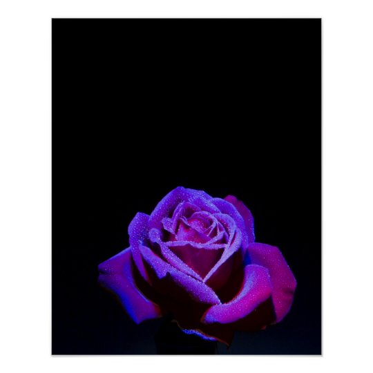 Purple Rose With Water Drops on Black Background
