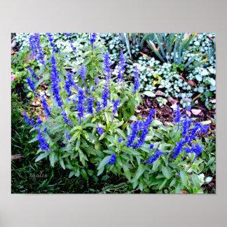 Purple Salvia Flowers Value Poster Paper (Gloss)