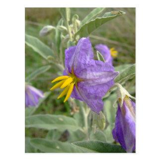 Purple silver-leaved nightshade flowers postcard