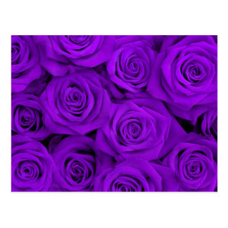 Purple Spectacular Roses Postcard
